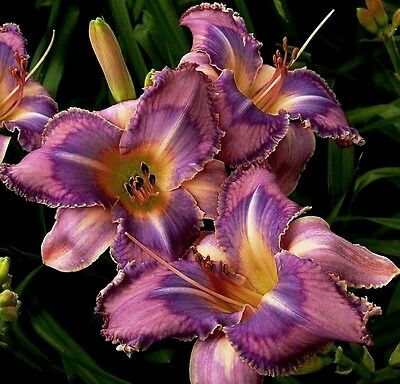 "Hemerocallis ""Mildred Mitchell"" Taglilie"