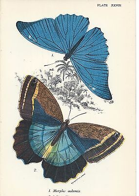 Antique Lithograph Print 1896 Kirby Butterflies Moths Mounted 10X8 Victorian 3
