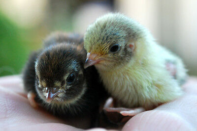 24 Pure Chinese Painted Button Quail Hatching Eggs