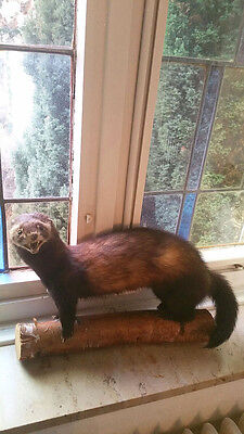Adorable Vintage Polecat Taxidermy, pre 1947 dated 1945