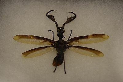 Mantispid Mantid Fly Rare Insect Specimen Mounted 5