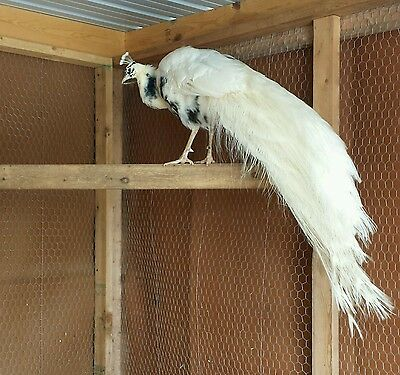 3 peacock hatching eggs ( pre-sale )                    pure white & silver pied