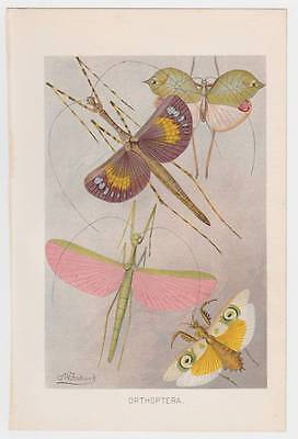 Nice Antique 1901 ORTHOPTERA Insect Natural History Color Print