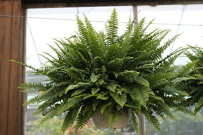 Indoor Plant- Nephrolepsis- Boston Fern -House Plant in a Hanging Pot