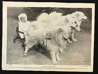 Original 1934 Dog Print / Bookplate - SAMOYED, Baby in Cart with 4 dogs