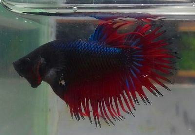Male Crowntails LIVE BETTA FISH