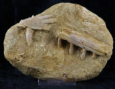 Saber Toothed Herring Fossil Jaw Teeth Matrix Enchodus Libicus Tooth Cretaceous