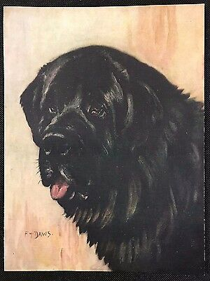 1934 Dog Print / Bookplate - NEWFOUNDLAND - Head Study Painting by F.T. Daws