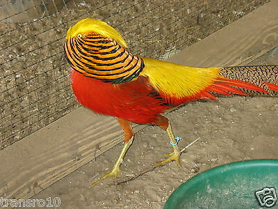 6 Red Golden Pheasant hatching eggs (Presale)
