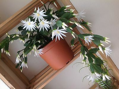Easter cacti, pure white flower