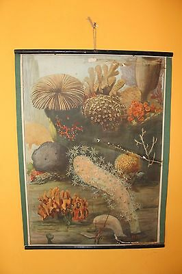 Original vintage pull down school chart Sea coral reef litograph