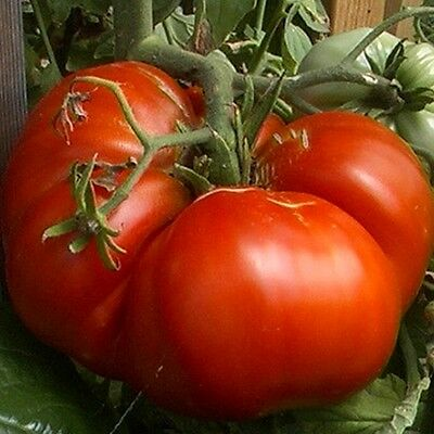 10 Tomato Seeds BIG ZAC Giant Heirloom Organic Vegetable-Biggest Competition