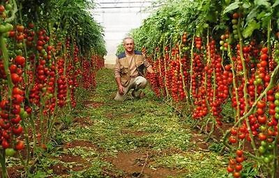Tomato Tree Seeds TSIFOMANDRA 30 Seeds Heirloom Vegetable - Non Gmo