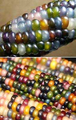 30 Corn Seeds GLASS GEM CORN Cherokee Heirloom Vegetable-Colorful Unusial Rare