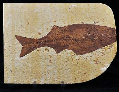 Xxl Mioplosus Labracoides Fossil Fish Green River Wy Eocene 6 In Long Free Stand