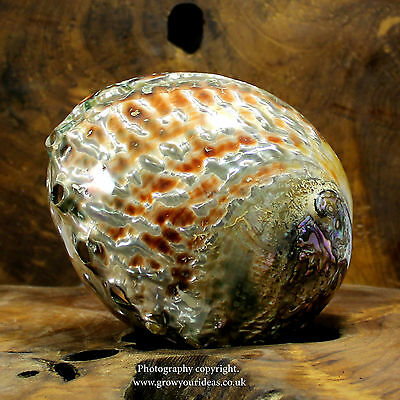 Red Polished abalone both sides Large seashell. 14-16cm