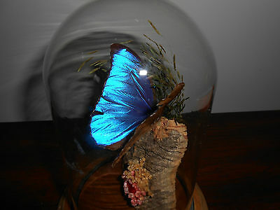 Butterfly Dome ~ Blue Morpho Butterfly Beautiful condition
