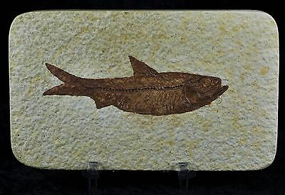 Knightia Eocaena Fossil Fish Green River Wy Eocene Age 3.4 In Long Free Stand