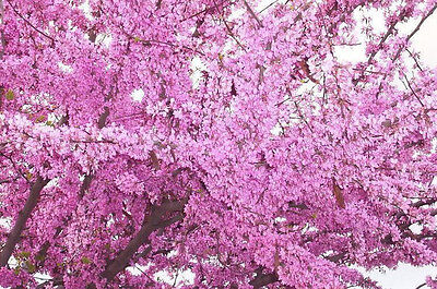 50+ FRESH Cercis Siliquastrum / Judas Tree  / European Redbud Tree Seeds