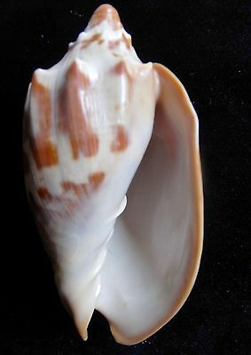 seashell Cymbiola aulica FULLY ADULT & GOOD COLOR 118mm F++