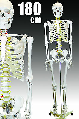 Lifesize Human Anatomical Skeleton Model Brand New