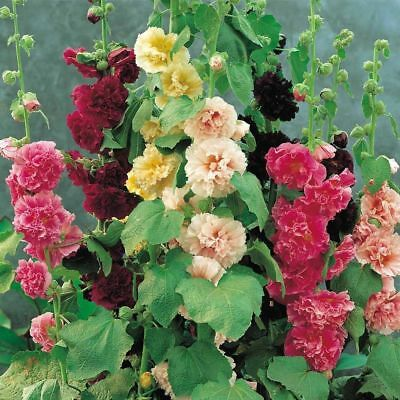 25+ Hollyhock Mix Chaters Double, Alcea Rosea  / 6 Foot Perennial Flower Seeds