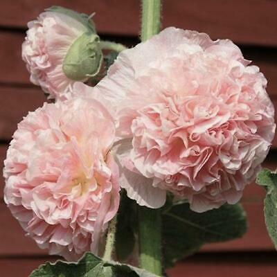 25+  Hollyhock Salmon Chaters Double, Alcea Rosea / 6 Ft  Perennial Flower Seeds