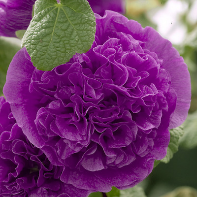 25+ Hollyhock Violet Chaters Double  / Alcea Rosea / 6 Ft Perennial Flower Seeds