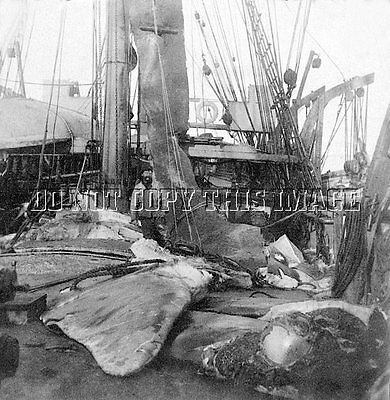 Antique Repro 8X10 Photograph Sperm Whale Hunters Rendering Oil # 2