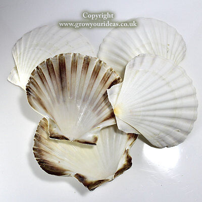 6 x Medium Atlantic Scallop seashells.10-11 cm.for crafts & culinary use