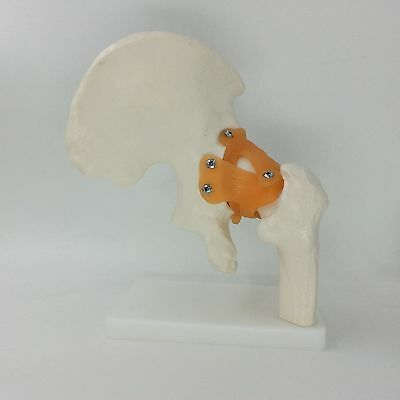 Human Hip Joint model anatomical anatomy Hip Joint medical orthopedics model