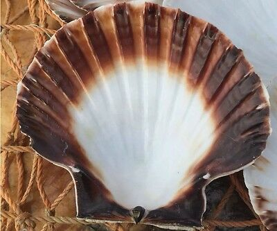 6 Extra Large West Country  Dredged Scallop Shells