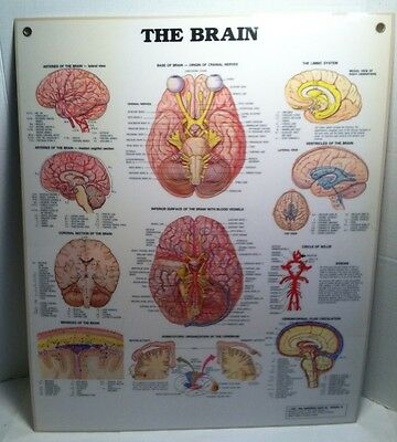 Human Brain anatomical medical wall chart laminated 24x20""