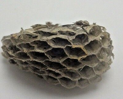 Wasp Nest Hornet TAXIDERMY Diorama YELLOW JACKET PAPER