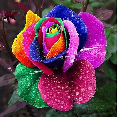 500Pcs Multi-color Rare Rainbow Rose Flower Seeds Your Lover Garden Plants NC90