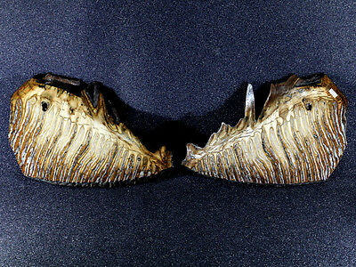 Russian Woolly Mammoth (Mammuthus primigenius) Fossil Tooth