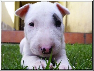 4 Puppy Dog English Bull Terrier Dogs Puppies Greeting Notecards/ Envelopes