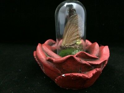 *Entomology Butterfly glass dome display in Resin rose//natural display-real