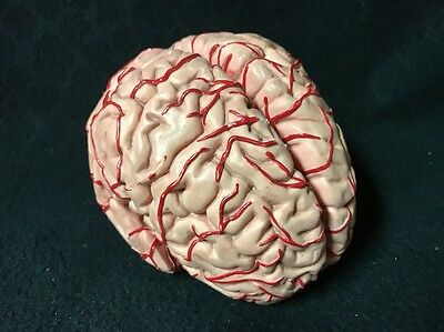 Vintage Life Size Brain with Arteries Model 6 Part Anatomical Model Anatomy