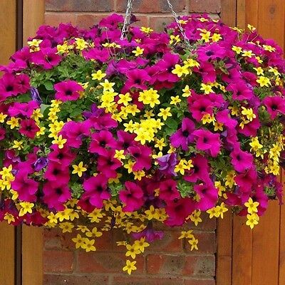 100 Mixed Petunia Seeds Heirloom Hanging Petunia Garden Flowers S048
