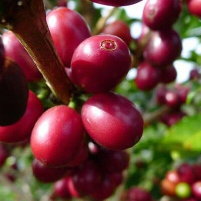 20 Coffee Bean Seeds Home Garden Plant Healthy Bulk Seeds S047