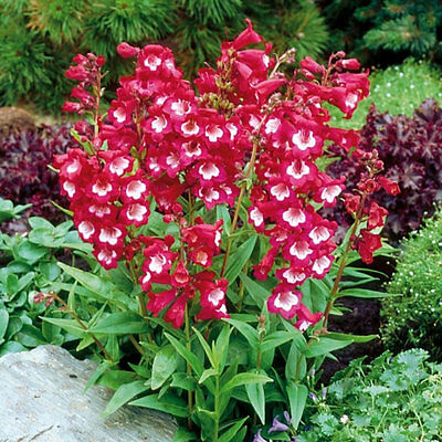 20+  Penstemon Scarlet Queen, Beardtongue  / Hummingbird Perennial Flower Seeds