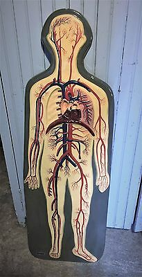 Antique~Vintage Welch Human Circulatory System Anatomical Model Arteries Veins