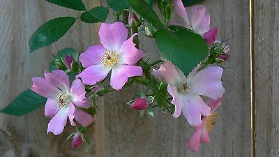 Rose Banksia climbing Pink rose plant with leaves and roots no thorns