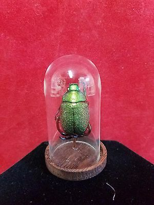 *Entomology/Taxidermy Large Beetle Glass Dome Display-Male////insect/bug/green
