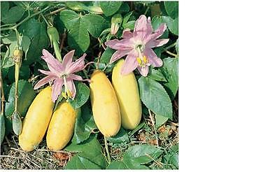 10 Tropical Long Yellow Banana Passion Fruit Vine seeds R-034 Combo S/H*