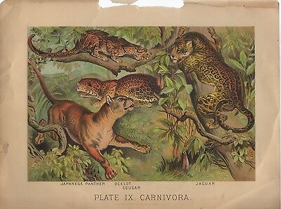 Carnivores Beautiful 19th Century Chromolithograph Ocelot Panther Jaguar Cougar