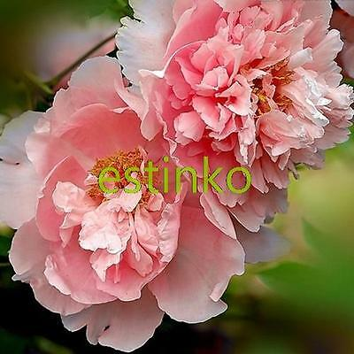 10 pcs Heirloom Sorbet Robust Colorful Double Blooms Peony Tree Seeds Bonsai