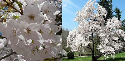 1X 6Ft Extra Large Yedoensis Weeping Japanese Flowering Cherry Tree - 7.5L