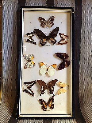 Vintage 1960s 1970s Taxidermy Dried Butterfly Black Orange Red Framed Picture